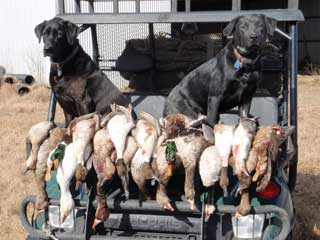 Retriever Training | Sporting Dog Training in Texas